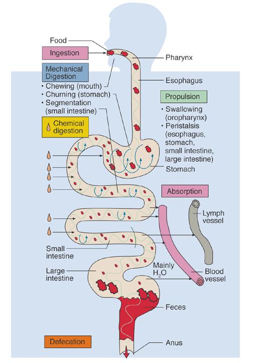 Chapter 26 Digestive System Biology 4 Human Anatomyprofessor Julie